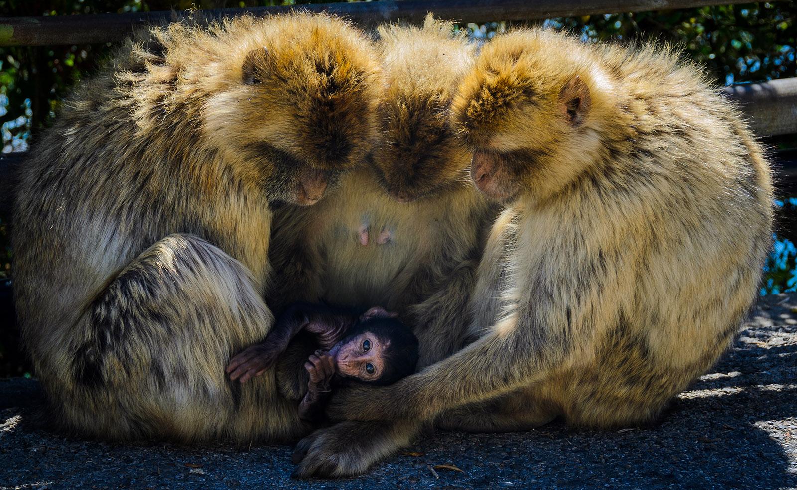 Gibraltar - Coborire cu macaci